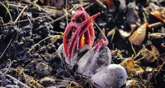 Een bloem? Een dier? Deze soort heeft de twijfelachtige bijnaam Duivelsvinger verworven!