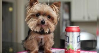 Pesa 1 kg e con i suoi 14 cm di altezza vi conquisterà: ecco il cane assistente più piccolo al mondo!