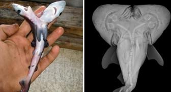 Gli squali con due teste sono sempre più frequenti : ecco perché questa notizia fa preoccupare i ricercatori