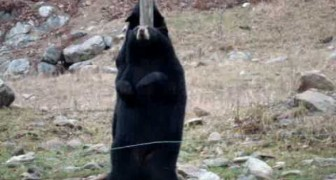 Pole Dancing Bears!!!