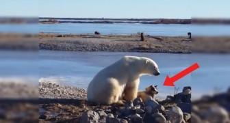 Filmam o urso polar perto do cachorro: o comportamento deles é inesperado!