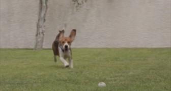 9 beagle vengono liberati da un laboratorio: eccoli correre per la prima volta all'aria aperta