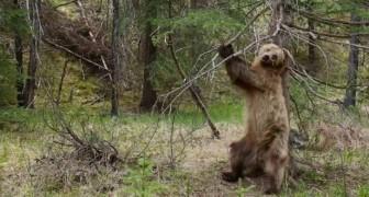 Ursos que coçam as costas na árvore: um vídeo muito divertido e com uma música perfeita!
