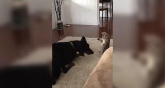 Il gattino infastidisce il dobermann: il comportamento del cane è esemplare