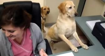 Un chien derrière le bureau du médecin: ce dont il s'occupe va vous amuser