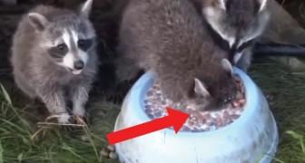 El mapache parece ahogarse: la realidad de esto que esta haciendo los dejara SORPRENDIDOS!
