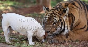 Tigre e Cane migliori amici di sempre!