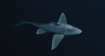 Filmado pela primeira vez o misterioso tubarão fantasma: veja todo o seu esplendor!