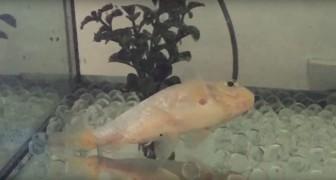Le poisson rouge n'arrive plus à nager: la solution adoptée par les maîtres est géniale et émouvante
