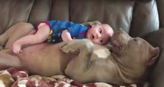Das Baby ruht auf dem Bauch des Pitbulls: die Zärtlichkeit des Hundes ist unbeschreiblich