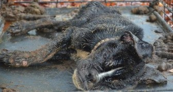 Toen deze hond werd gevonden in een kooi, zat ze op het randje van de dood: als je haar nu ziet, herken je haar niet meer terug!