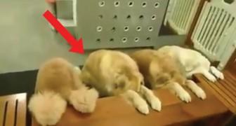 In diesem Haus beginnt jede Mahlzeit auf diese Weise: hier die erzogensten Hunde der Welt