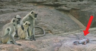 Colocam um macaco robô no grupo: o que acontece quando 'morre' deixa os cientistas surpresos