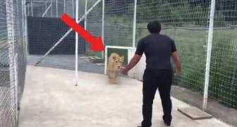 Er sagt der Frau, das Tor zu öffnen: was dann zwischen ihm und der Löwin passiert, ist beeindruckend