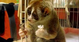Sweet Loris eating a rice ball