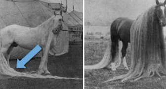 Il cavallo delle meraviglie: l'incredibile razza esistita nel 1800 famosa per i crini lunghissimi