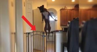 Het baasje roept: Wanneer deze hond een obstakel moet overwinnen doet hij dit met een ongelofelijke atletische actie