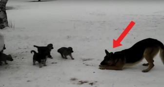 Een vader en zijn pups: het enthousiasme van deze Duitse herder werkt aanstekelijk!