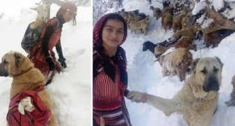 Een van haar geiten bevalt in de sneeuw: de jonge herderin redt het dier met behulp van haar hond!