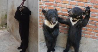 Hoe laten ze beren op hun achterpoten staan? Deze foto's laten je zien hoe