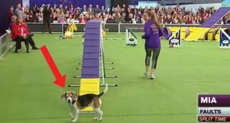 El beagle se distrae continuamente: esta es la competencia de agilidad de perros mas divertida jamas vista