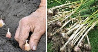 Knoblauch zu Hause anbauen: So einfach!