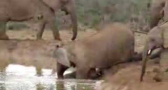 Sauvetage de la noyade du bébé éléphant