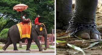 Randonnée en éléphant? Voici la réalité brutale qui se cache derrière cette activité touristique