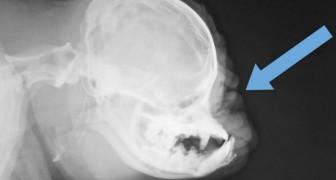 Das ist das Röntgenbild eines Mopses. Es wirft viele Fragen auf
