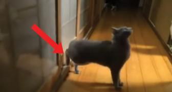 Öffne oder ich breche die Tür auf: die Art auf die diese Katze anklopft würde jeden verrückt machen!