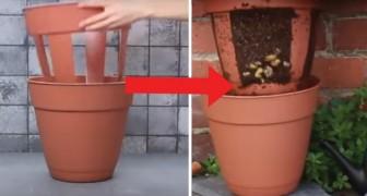 Cultivar batatas no seu terraço? É possível com este truque!