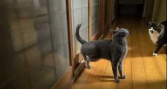 Um gato muito educado que bate na porta antes de entrar