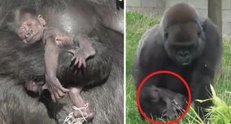 Semplicemente mamma gorilla e il suo cucciolo, in tutta la loro dolcezza