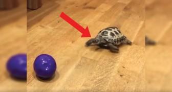 Scommettiamo che non avete mai visto una tartaruga andare a questa velocità e per questo motivo!