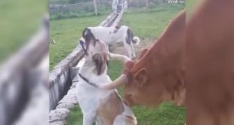 Guardare questo cane vi farà venire voglia di essere... Leccati da una mucca!