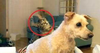 La tosatura di questo barboncino provoca al suo amico gatto una certa dose di SMARRIMENTO