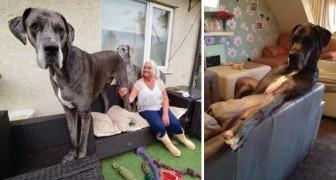Die Dogge Freddy: Der offiziell größte Hund der Welt!