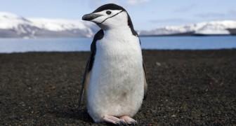 1911 studierte er Pinguine. Was er entdeckte war so unglaublich dass er es für mehr als ein Jahrhundert geheim hielt