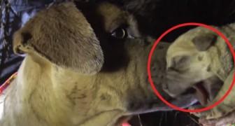 Una mamma e otto cuccioli da salvare: la dolcezza dell'operatore convince il cane a fidarsi di lui