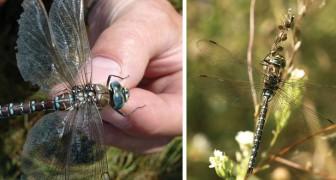 Faire semblant d'être morte pour éviter les avances : la stratégie « extrême » de la libellule