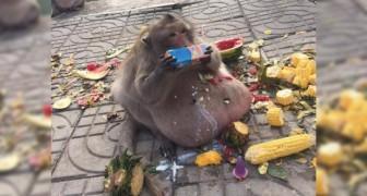 Uncle Fatty, la scimmia obesa che ci mostra i pericoli del cibo umano