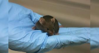 Scoperta la formula che inverte l'invecchiamento del DNA nei topi