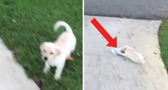 La cucciola va a recuperare il giornale come sempre ma stavolta il postino le ha fatto uno scherzo