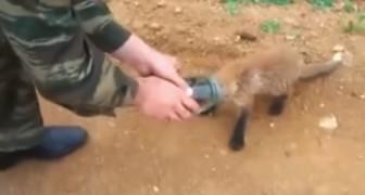 Deze jonge vos heeft zijn hoofd vastzitten en besluit om hulp te vragen aan de mens