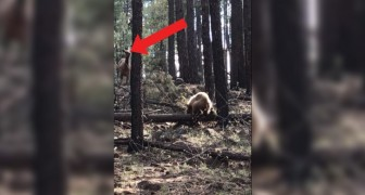 Who will win in this fight? The Bear or the Elk?