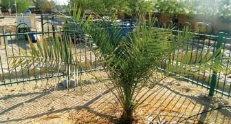 È la germogliazione più antica di sempre: da un seme di 2000 anni è nata una palma molto speciale