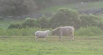 Le mouton défie le jeune taureau: leur duel est plus mignon qu'effrayant