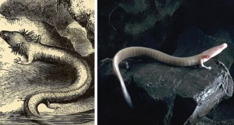 Scoperte nuove uova di un anfibio millenario: la schiusa sarà un evento epocale