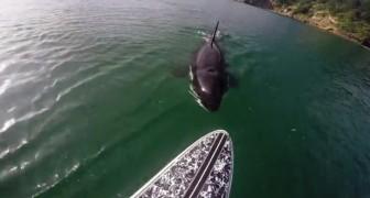 La orca recorre la tabla: entre miedo y asombro la experiencia es INOLVIDABLE