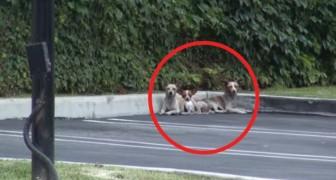 Ces 3 chihuahuas n'avaient plus confiance en l'homme, mais regardez-les après quelques jours...